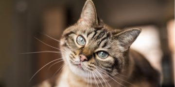 Things to Know When Owning a British Shorthair