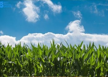 Useful Tips for Managing a Corn Field